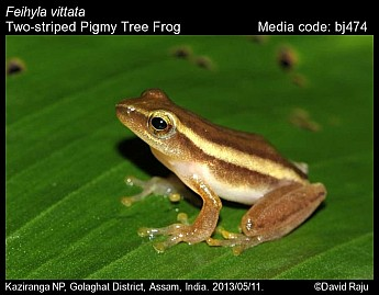 Feihyla vittata - Two-striped Pigmy Tree Frog