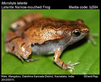 Microhyla laterite - Laterite Narrow-mouthed Frog
