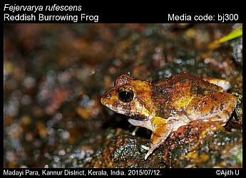 Fejervarya rufescens - Reddish Burrowing Frog