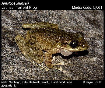 Amolops jaunsari - Jaunsar Torrent Frog