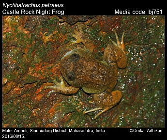 Nyctibatrachus petraeus - Castle Rock Night Frog