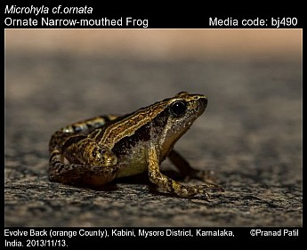 Microhyla ornata - Ornate Narrow-mouthed Frog