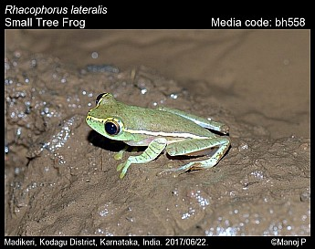 Rhacophorus lateralis - Small Tree Frog