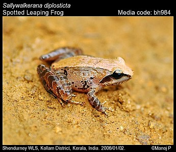 Sallywalkerana diplosticta - Spotted Leaping Frog