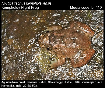 Nyctibatrachus kempholeyensis - Kempholey Night Frog