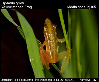 Hylarana tytleri - Yellow-striped Frog