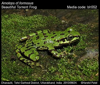 Amolops formosus - Beautiful Torrent Frog