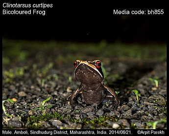 Clinotarsus curtipes - Bicoloured Frog