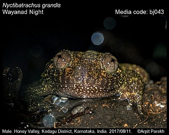 Nyctibatrachus grandis - Wayanad Night