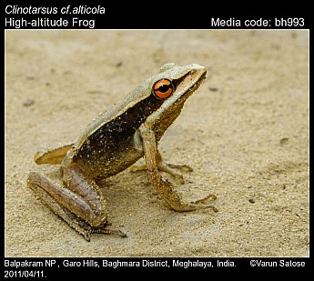 Clinotarsus alticola - High-altitude Frog