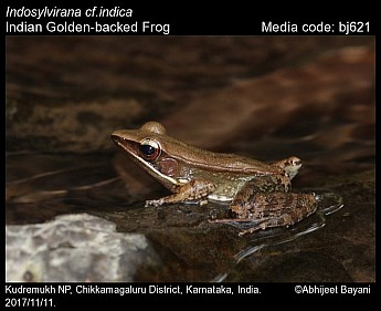 Indosylvirana indica - Indian Golden-backed Frog