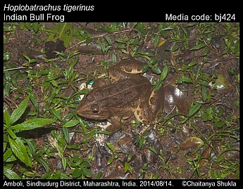 Hoplobatrachus tigerinus - Indian Bull Frog