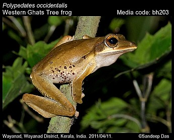 Polypedates occidentalis - Western Ghats Tree frog