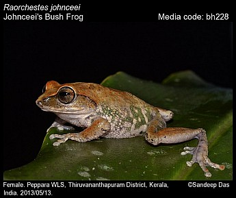 Raorchestes johnceei