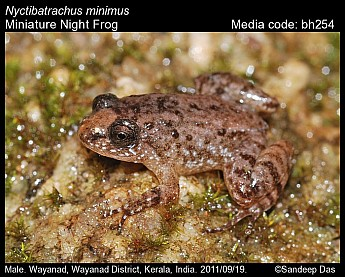 Nyctibatrachus minimus - Miniature Night Frog