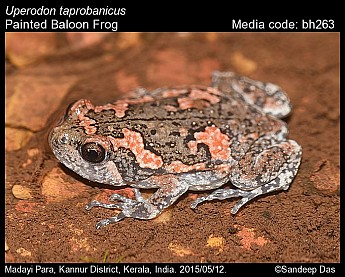 Uperodon taprobanicus - Painted Baloon Frog