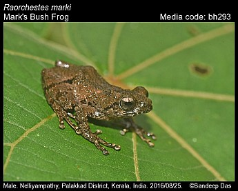 Raorchestes marki - Mark's Bush Frog