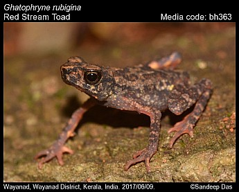 Ghatophryne rubigina - Red Stream Toad