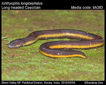 Ichthyophis longicephalus - Long-headed Caecilian