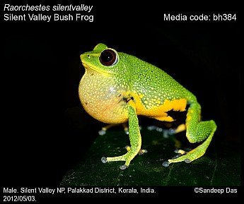Raorchestes silentvalley