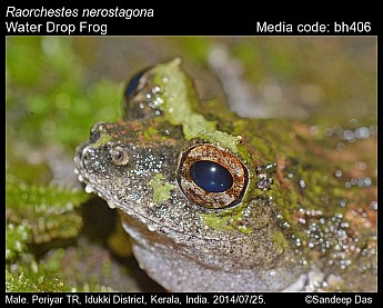 Raorchestes nerostagona - Water Drop Frog