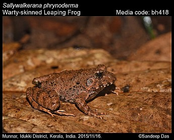 Sallywalkerana phrynoderma - Warty-skinned Leaping Frog