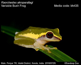 Raorchestes akroparallagi