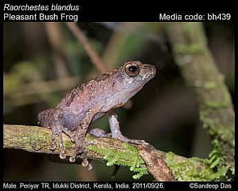 Raorchestes blandus - Pleasant Bush Frog