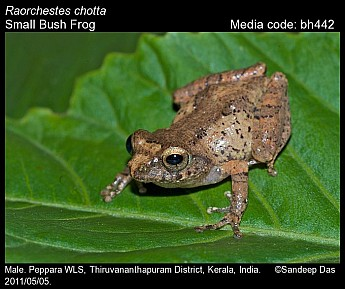 Raorchestes chotta - Small Bush Frog