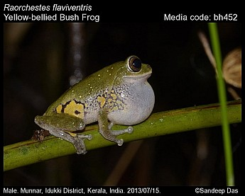 Raorchestes flaviventris - Yellow-bellied Bush Frog