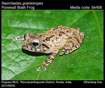 Raorchestes graminirupes