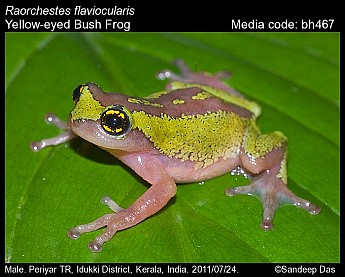 Raorchestes flaviocularis - Yellow-eyed Bush Frog