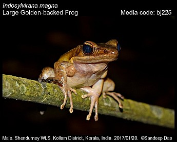 Indosylvirana magna - Large Golden-backed Frog