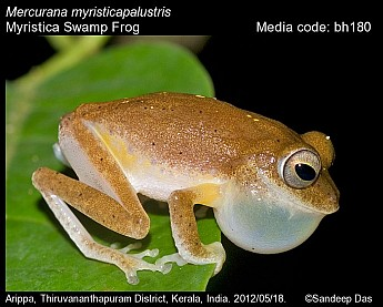 Mercurana myristicapalustris