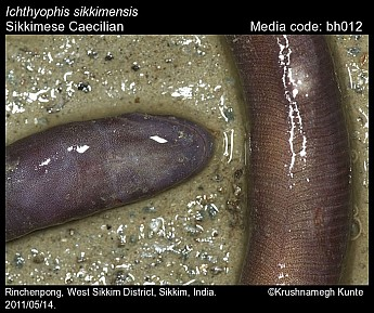 Ichthyophis sikkimensis - Sikkimese Caecilian