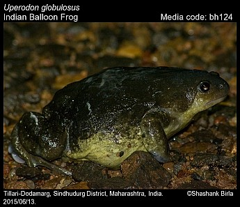 Uperodon globulosus - Indian Balloon Frog