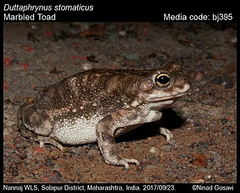 Duttaphrynus stomaticus - Marbled Toad