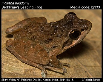 Indirana beddomii - Beddome's Leaping Frog