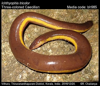 Ichthyophis tricolor - Three-colored Caecilian