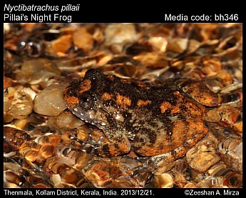 Nyctibatrachus pillaii