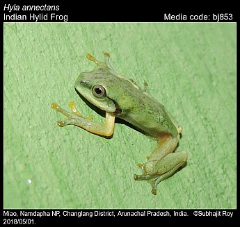 Hyla annectans - Indian Hylid Frog