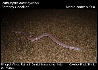 Ichthyophis bombayensis - Bombay Caecilian