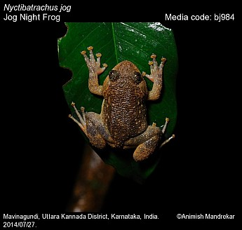 Nyctibatrachus jog - Jog Night Frog