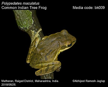 Polypedates maculatus - Common Indian Tree Frog