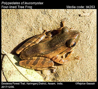 Polypedates leucomystax - Four-lined Tree Frog