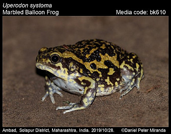 Uperodon systoma - Marbled Balloon Frog