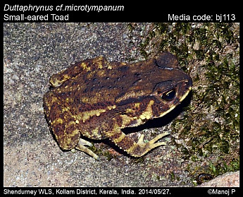 Duttaphrynus microtympanum - Small-eared Toad
