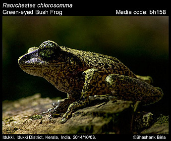 Raorchestes chlorosomma - Green-eyed Bush Frog