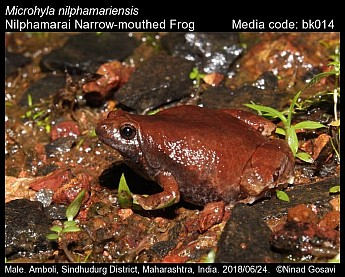 Microhyla nilphamariensis - Nilphamarai Narrow-mouthed Frog
