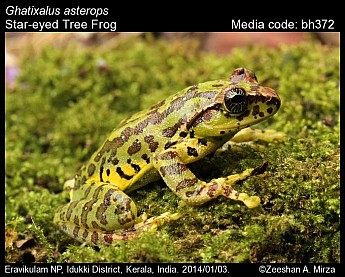 Ghatixalus asterops - Star-eyed Tree Frog